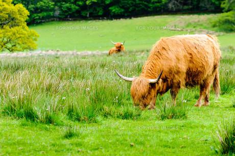 Scottish Highland Cowsの写真素材 [FYI00660596]