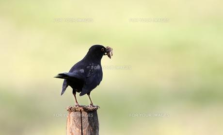 blackbirdの写真素材 [FYI00660621]