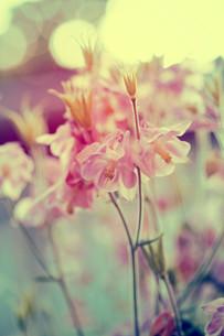 Vintage photo of garden flowers in sunsetの写真素材 [FYI00660667]
