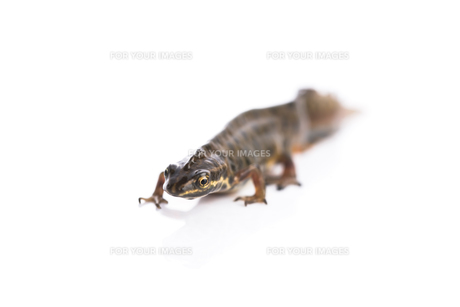 Smooth newt on white backgroundの写真素材 [FYI00660935]