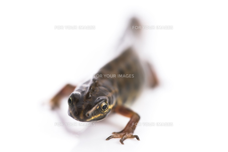Smooth newt on white backgroundの写真素材 [FYI00660938]
