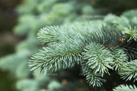 Blue spruce branches on a green backgroundの素材 [FYI00660957]