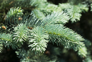Blue spruce branches on a green backgroundの素材 [FYI00660959]