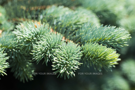 Blue spruce branches on a green backgroundの素材 [FYI00660960]
