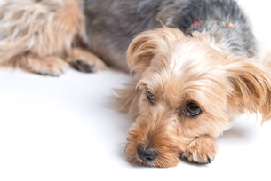 Cute Yorkshire Terrier Lying down.の写真素材 [FYI00661477]