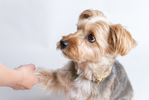 Yorkshire Terrier Giving Pawの写真素材 [FYI00661479]