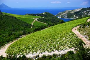Vineyard in Dalmatia, Croatia, at the Adriatic coastの写真素材 [FYI00661759]