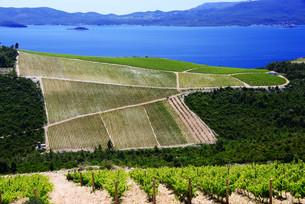 Vineyard in Dalmatia, Croatia, at the Adriatic coastの写真素材 [FYI00661761]