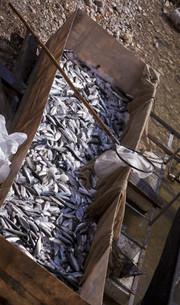 Freshly Caught Fish on Ice in Turkeyの写真素材 [FYI00661882]