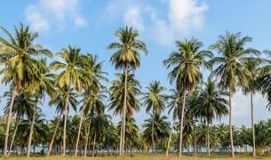 Coconut Plantation in Thailandの写真素材 [FYI00661935]