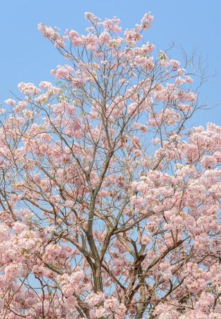 Pink flower of trumpet  or Tabebuia treeの写真素材 [FYI00661938]