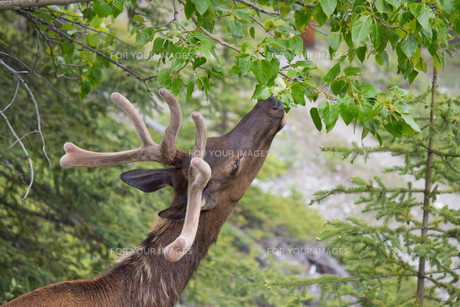 head of canadian white-tail deer reaching for leaves on treeの写真素材 [FYI00661982]