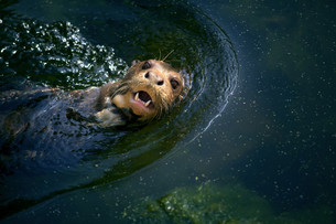 Otterの写真素材 [FYI00662156]