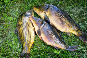 Fish caught in the river, lying on the grass..の写真素材 [FYI00662410]