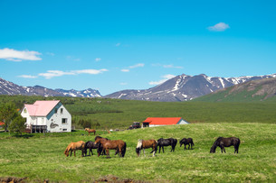 farm in iceland with grazing horses icelandの写真素材 [FYI00662468]