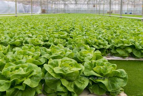 green lettuceの写真素材 [FYI00662501]