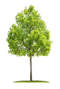 oak against a white backgroundの写真素材 [FYI00662522]