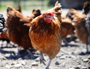 Chickens on traditional free range poultry farmの写真素材 [FYI00662536]