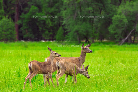 Deers on green meadow.の写真素材 [FYI00662552]