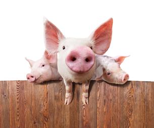 Pig farmの写真素材 [FYI00662565]