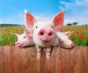 Three charming pigs from wonderful farm.の写真素材 [FYI00662567]