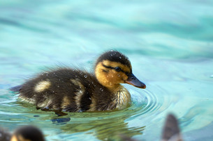 beautiful ducklings with sparkling water dropsの写真素材 [FYI00662694]