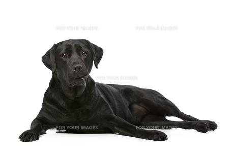 Black Labrador dogの写真素材 [FYI00662725]