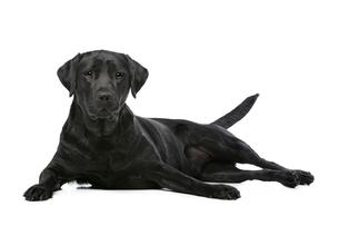 Black Labrador dogの写真素材 [FYI00662726]