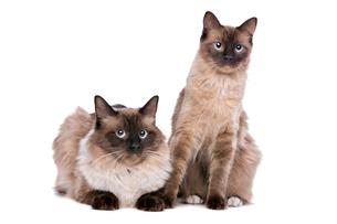 Couple of Ragdoll catsの写真素材 [FYI00662727]