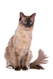 Brown Ragdoll catの写真素材 [FYI00662730]