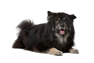 Finnish Lapphund in front of a white backgroundの写真素材 [FYI00662732]