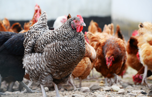 Chickens on traditional free range poultry farmの写真素材 [FYI00662821]