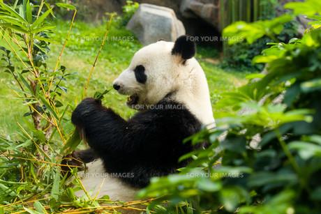 Panda eating bambooの素材 [FYI00662869]