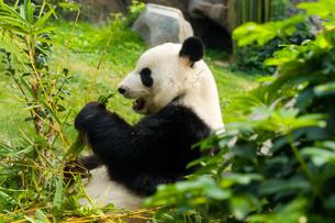 Panda eating bambooの写真素材 [FYI00662869]