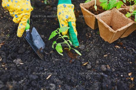 Taking care of seedlingsの素材 [FYI00662889]
