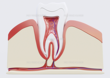 anatomy of a molar in sectionの写真素材 [FYI00663376]