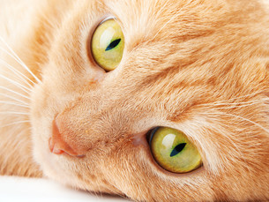 Redhaired cat on white backgroundの写真素材 [FYI00663491]