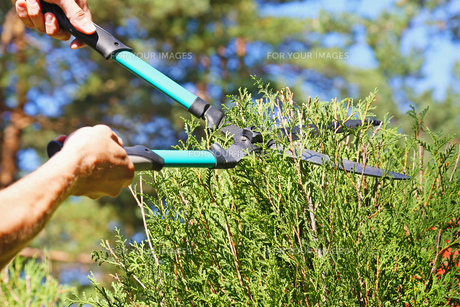 cutting a hedge with garden shearsの写真素材 [FYI00664193]