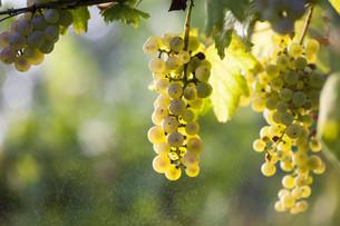 White grape bunch on the vineの写真素材 [FYI00664197]