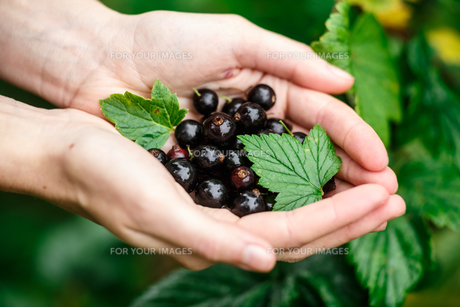 Blackcurrant pickingの素材 [FYI00664384]
