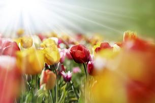tulips beamsの写真素材 [FYI00664480]