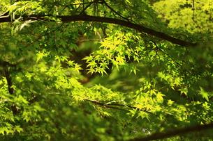新緑のカエデの写真素材 [FYI00664563]