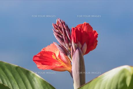 カンナの花の写真素材 [FYI00664660]