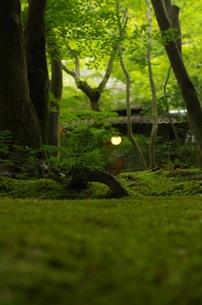祇王寺の苔の写真素材 [FYI00664865]