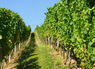 weinberg - vineyardの写真素材 [FYI00665409]