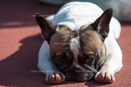 sad white pug layingの写真素材 [FYI00665483]