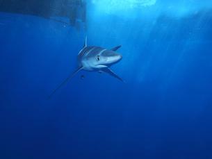 blue sharkの写真素材 [FYI00665515]