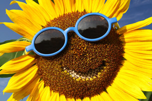 sunflower with a smileの写真素材 [FYI00667073]