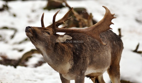 deer in winterの写真素材 [FYI00667462]