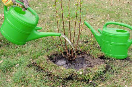 bush casting - watering a shrub 02の素材 [FYI00667565]